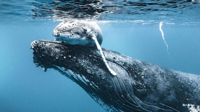 На этой трогательной фотографии детёныш горбатого кита и его мать. (С любезного разрешения Caters News)  | Epoch Times Россия