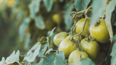 Икра из зелёных помидоров: отличная заготовка на зиму