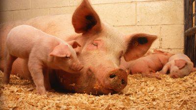 На площадке «Мираторга» свиньи заболели африканской чумой