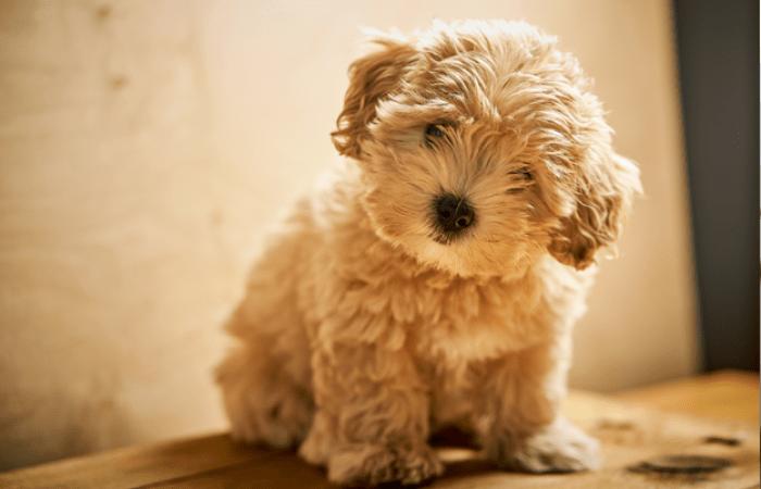 Очаровательный малыш мальтипу. Фото предоставлено сообществом «Хвост Ньюс»  | Epoch Times Россия