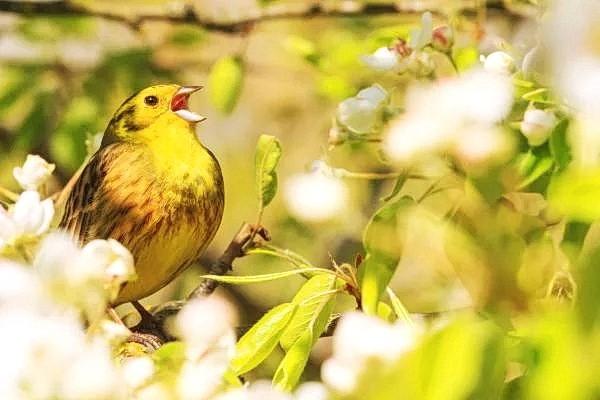 Записи показали, что во время дуэтов птицы поют синхронно, и это звучит так, как будто поёт одна птица. (Изображение: Костя Пазюк/Dreamstime) | Epoch Times Россия