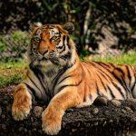 В крымском зоопарке «Тайган» ребёнка укусил тигр