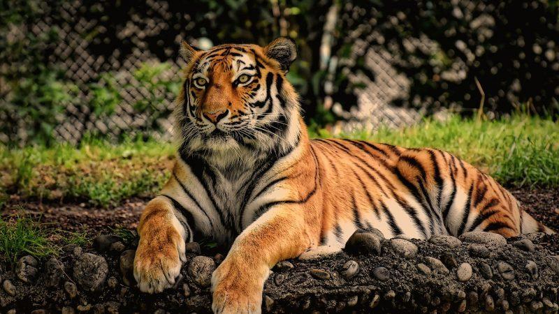 Тигр в зоопарке Тайган pixabay.com/Alexas_Fotos/СС0 | Epoch Times Россия