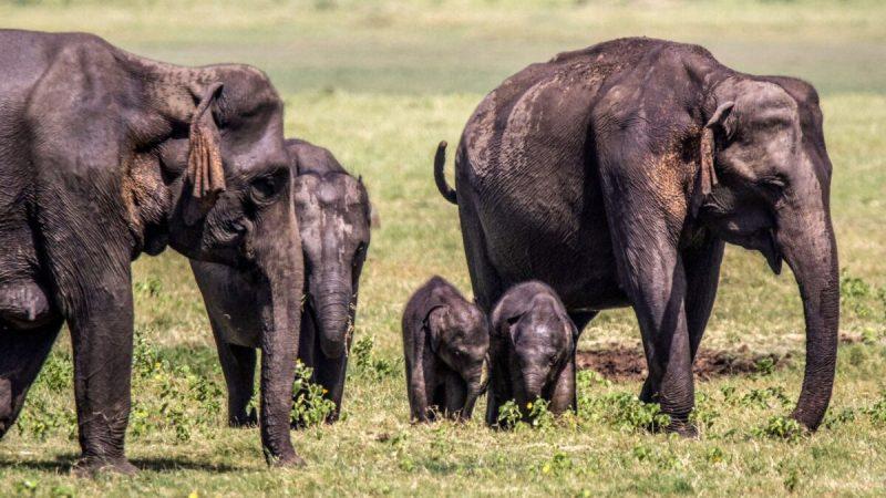 Два слонёнка гуляют среди стада в национальном парке в Миннерии, Шри-Ланка