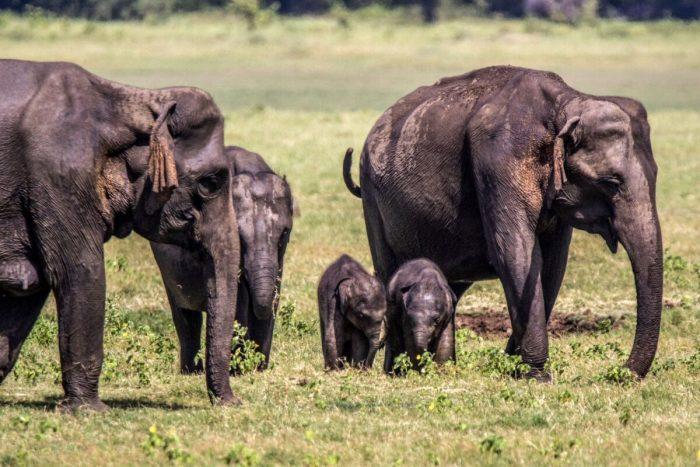 Слонята-близнецы родились впервые за 80 лет на Шри-Ланке