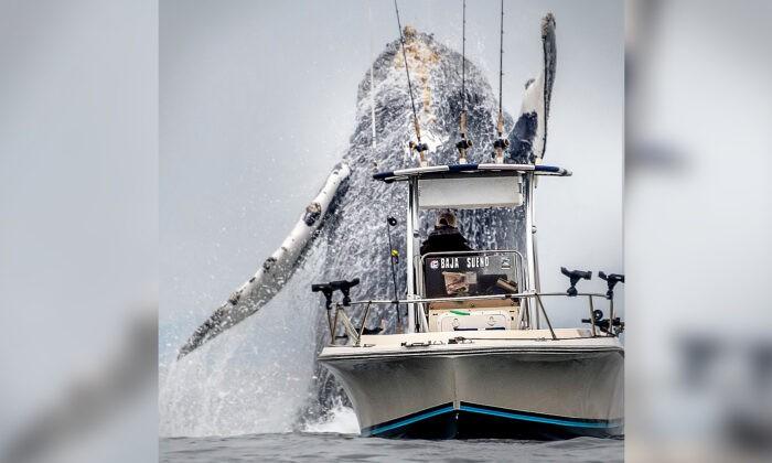 Огромный горбатый кит внезапно взлетел в воздух рядом с лодкой, шокировав рыбаков