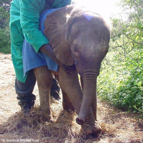 После десяти лет жизни на свободе слониха-мать навещает человека, вырастившего её