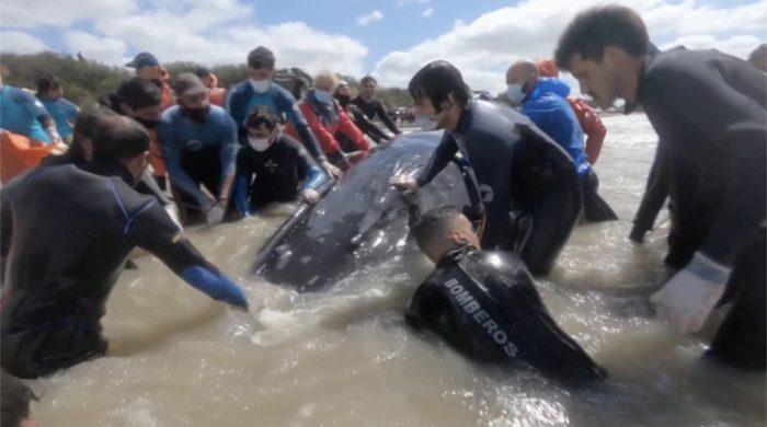 Двух выброшенных на берег горбатых китов спасатели вернули в океан с помощью  экскаватора-погрузчика
