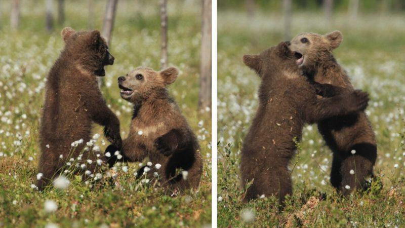 Сказочные фотографии играющих и обнимающихся медвежат