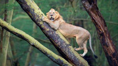 Буйволы загнали напуганного льва на дерево