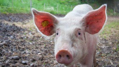 В Амстердаме взяли свиней на работу в аэропорт