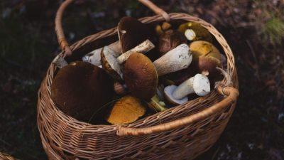 Россияне стали зарабатывать на сборе грибов