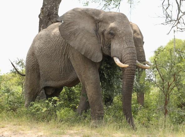 В ЮАР слон насмерть затоптал браконьера