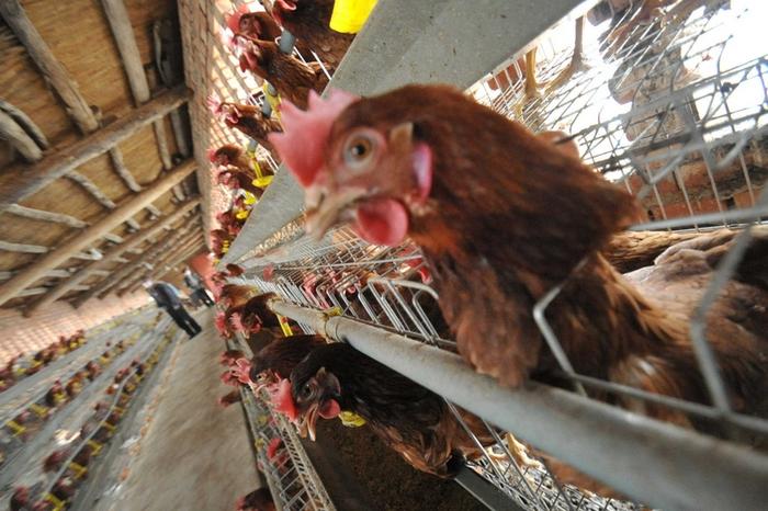 Птичий грипп продолжает распространяться в Китае. Фото: Getty Images