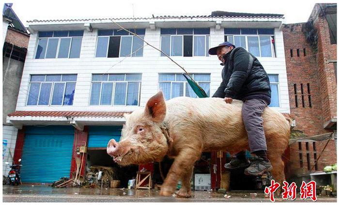 Китайский крестьянин ездит в город на огромной свинье