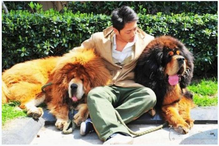В Китае тибетский мастиф был продан почти за 2 миллиона долларов