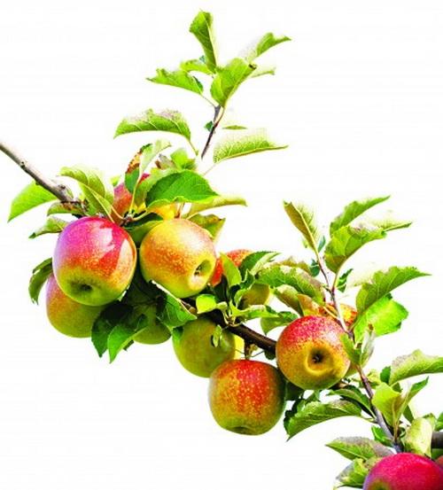 Как избавиться от желчных камней с помощью яблок