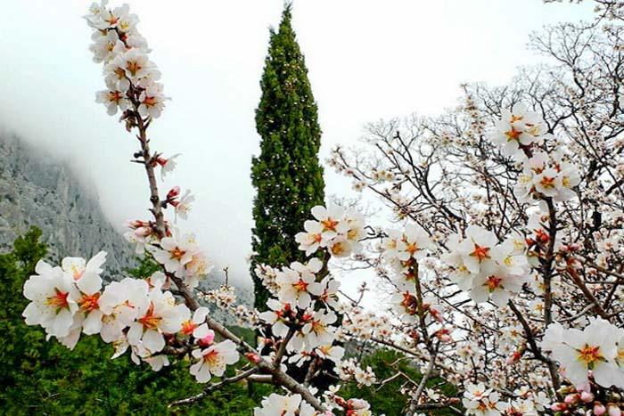 В Крыму цветёт миндаль