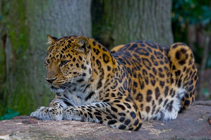 В немецком сафари-парке у амурского леопарда родилась двойня