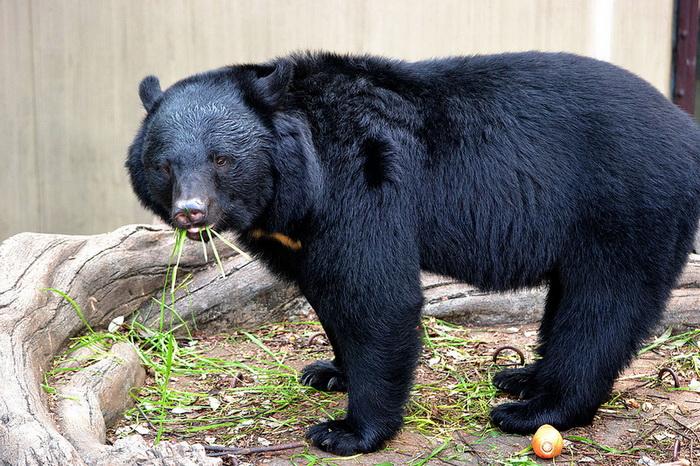 В зоопарке Южно-Сахалинска вышли из зимней спячки барсуки и медведи