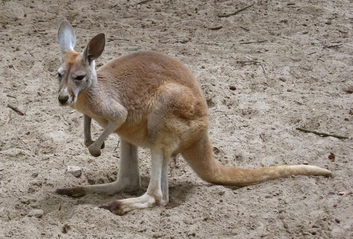 В калининградском зоопарке выхаживают кенгурёнка Живика