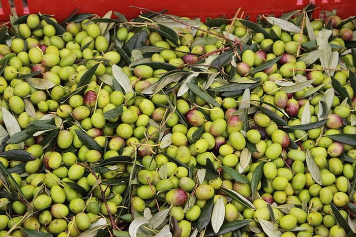 Урожайность оливок в Средиземноморье резко возрастёт из-за глобального потепления