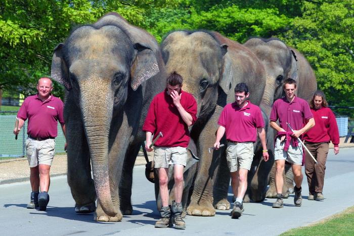 Три слона сбежали из цирка и повредили несколько автомобилей