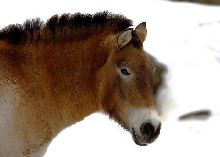 В Оренбургской области появятся лошади Пржевальского