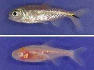 Слепые пещерные рыбы (внизу) чувствуют свет с помощью шишковидной железы, в отличие от своих зрячих родственников (вверху). Фото с сайта журнала Nature