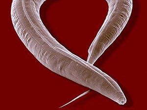 Круглый червь C. elegans. Фото с сайта space.gc.ca
