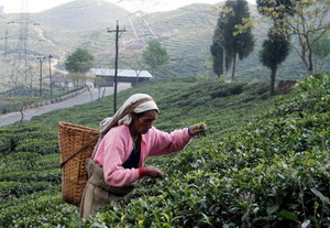 Вид чая может определяться временем суток – до или после росы,  первый это сбор или второй, или третий, временем года, даже настроением сборщика. Фото: DIPTENDU DUTTA/AFP/Getty Images