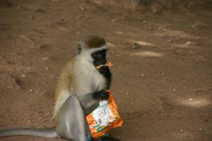 Бабуин с украденными каплями от кашля. Фото: Д-р Гриффорд- Джонс