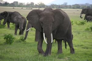 Стадо слонов. Фото: Д-р Гриффорд- Джонс