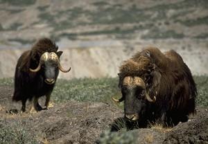 Обед? Автор получил удовольствие от блюд гренландской кухни, среди которых было блюдо из овцебыка, в ресторане Гертруд Хаск. Этих обитателей здешних мест можно часто видеть, путешествуя по западной Гренландии. Фото: Greenland Tourism/ Lars Reimers