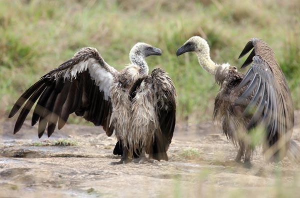 Кенийское Сафари. Фото: Dan Kitwood/Getty Images