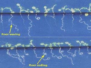 Ростки арабидопсиса, наклоненные под углом 45 градусов к твердой поверхности агара. Вверху: на ростках дикой линии больше изгибов; внизу: на ростках мутантной линии больше завитков. Изображение с сайта ESA