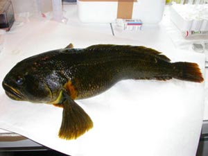 Найдена рыба, способная впадать в зимнюю спячку. Фото: cybersecurity.ru