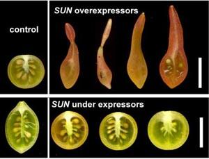 Найден ген, определяющий форму овощей. Фото: Ohio State University