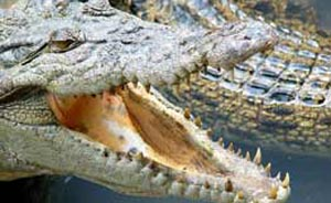Обнаружены останки доисторического крокодила, пережившего динозавров. Фото: РИА Новости