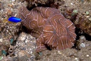 Ученые отыскали неизвестную ползающую рыбу. Фото: M. Snyder, starknakedfish.com/divingmaluku.com