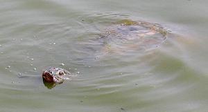 Во Вьетнаме нашли исчезнувшую гигантскую черепаху. Фото с сайта zhelezyaka.com