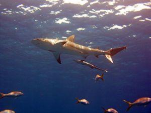 Ученые говорят о постепенном уничтожении акул как вида. Фото с сайта cybersecurity.ru