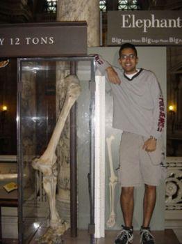 Бедренная кость гиганта, обнаруженная в 1950 г. во время строительства шоссе на юго-востоке Турции. Фото: Mt. Blanco Fossil Museum