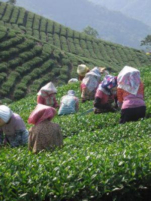Сборщицы чая в районе озера «Луны и Солнца» рано утром собирают стебли черного чая на ферме Юнь Са. Фото: Rich Carlson