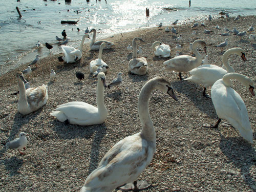 Лебеди на Феодосийском побережье. Фото: www.TURNE.com.ua
