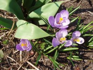 Крокусы - весенние первоцветы. Фото: Наталья Карпенко /Великая Эпоха
