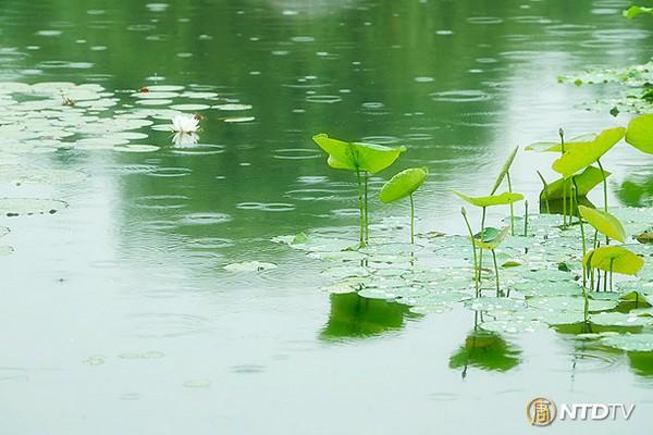 Лотос – символ непорочности и чистоты. Фото: NTDTV