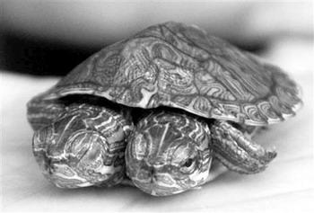 Двухголовая черепаха из провинции Сычуань. Фото: Великая Эпоха