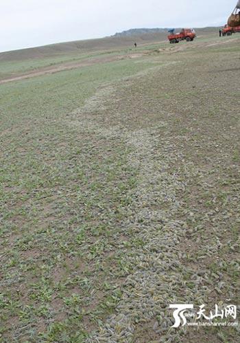 Волосатые гусеницы уже уничтожили растительность на около 5000 га земли в Синьцзяне. Фото   с epochtimes.com