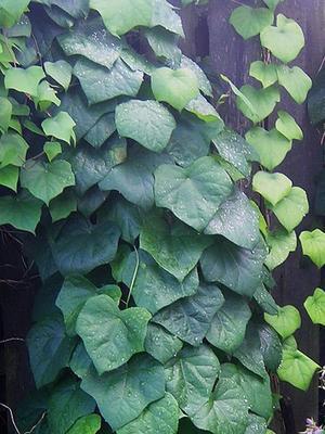 Луносемянник - одно из 136 растений, которые доказали свое действие против повышенного кровяного давления. Нельзя сказать однозначно, какое из этих трав действует лучше всего - это зависит от индивидуального рецепта. Фото: Borealis55 /Wikimedia Commons